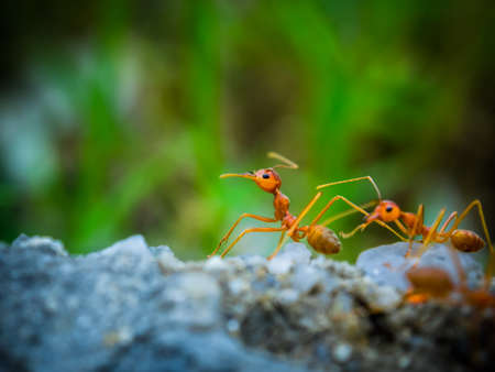 soliciting: weaver ants in the forest green background