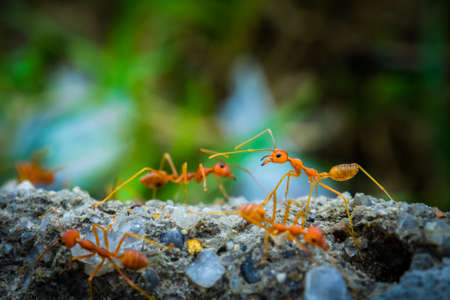 faction: weaver ants in the forest green background
