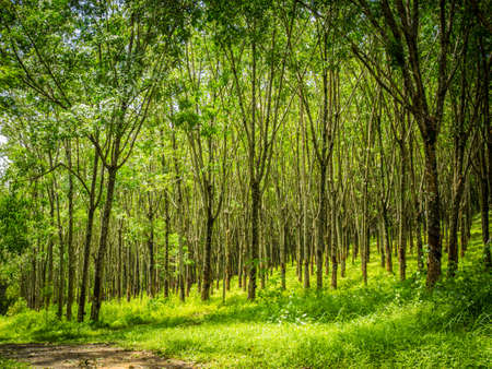 deepness: row of para rubber tree Stock Photo
