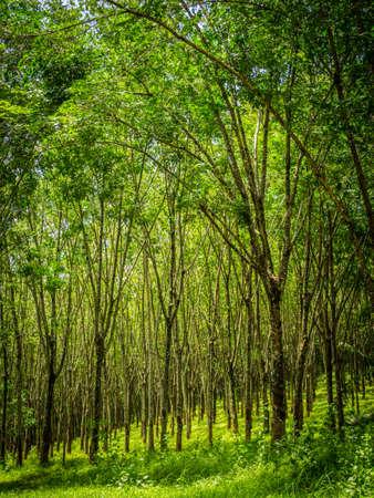 deepness: row of para rubber tree Stock Photo