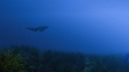 whale shark: Whale Shark in underwater