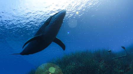 Whale Shark in underwater