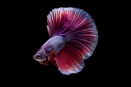 fineart: Siamese betta fish movement on black background