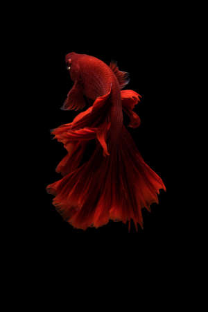 black fish: Siamese betta fish movement on black background