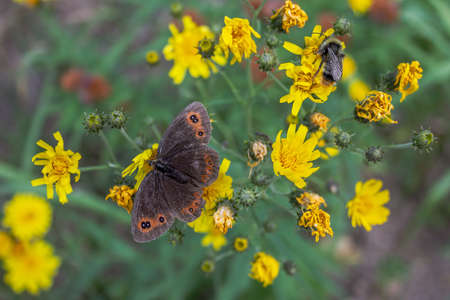 Closeup view on brown butterfly standing on yellow flower.