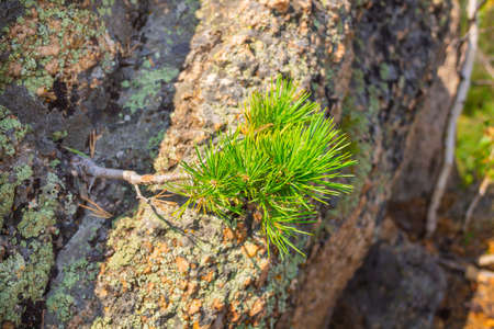 Unusual rocks in the mountains. Pine growing from stone. Altai region, Russia.
