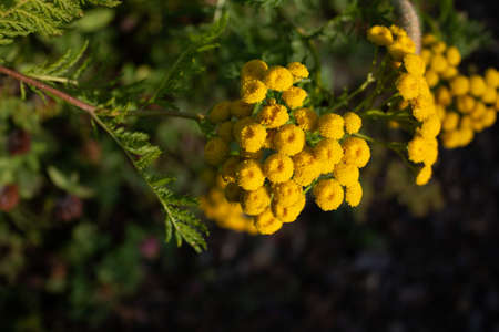 Macro shot of tanacetum vulgare also known as tansy, buttons flower. medicinal plant flowers closup
