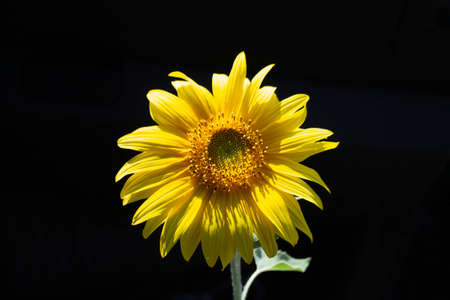 A single sunflower isolated on a black background. 스톡 콘텐츠