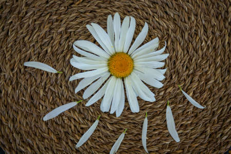 Chamomile close-up on a brown intertwined background, one flower. Petals torn off.