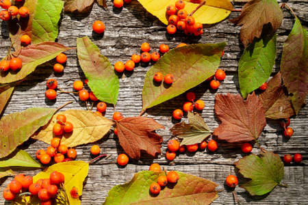 Autumn pattern of ashberry and fallen leaves on old wooden background