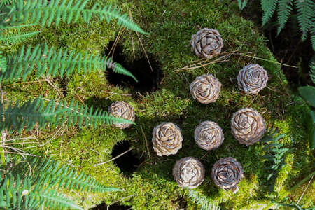Background of brown cedar cones and fern on a green moss