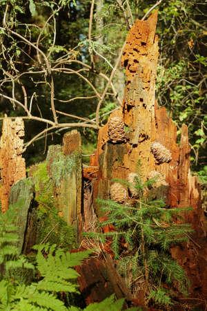 Cedar cones on a cedar stump in the forest 写真素材 - 129457521