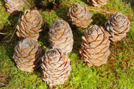 Background of brown cedar cones on a green moss
