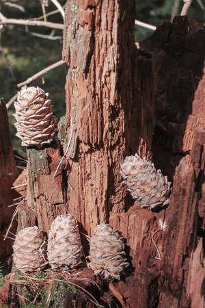 Cedar cones on a cedar stump in the forest 写真素材 - 129457533