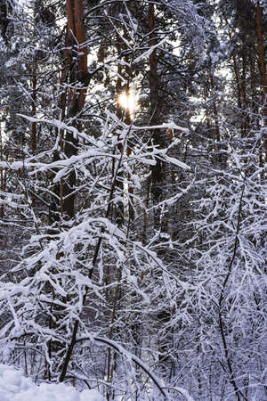 Winter forest. Tree branches covered with snow. Standard-Bild - 140648442