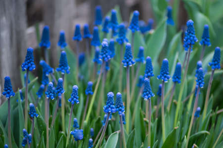 Spring blue flowers muscari or murine hyacinth or viper bow buds and leaves.