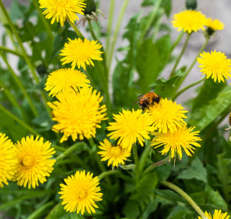 Bumblebee pollinating a dandelion flower against a blurry green background. Фото со стока