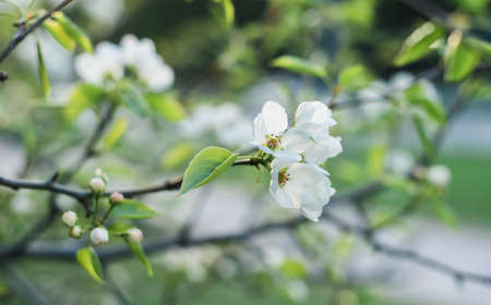 Blooming apple tree in spring time. White flowers.