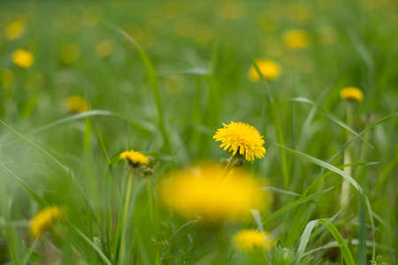 yellow dandelions growing on a lawn illuminated by the sunlight.