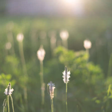 Blurred background of green grass and plantain flower.