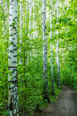 Path among birches in the spring forest.
