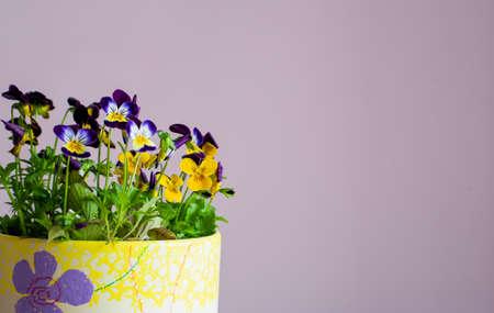 Beautiful blooming viola corneta purple yellow spring flowers in a flower pot