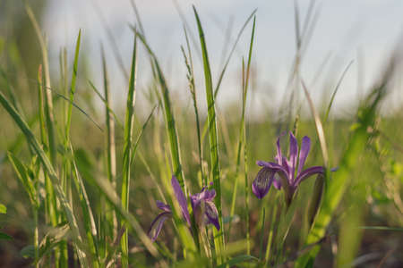 Blurred background of green grass and blue cuckoo flowers tearslurred