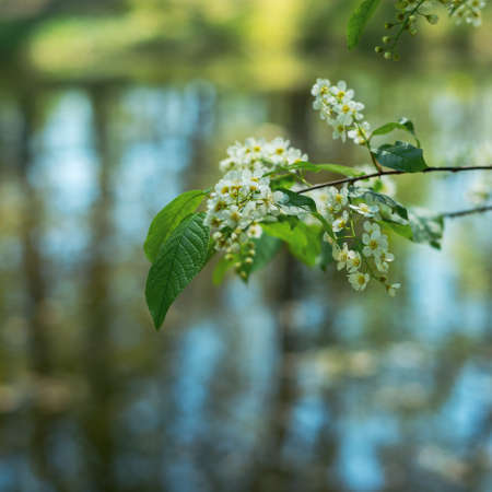 Bird cherry flowers in sunny day, close-up.