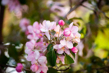 Pink apple tree flowers in spring garden.