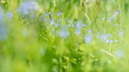 Blurred background of green grass and blue forget-me-not.