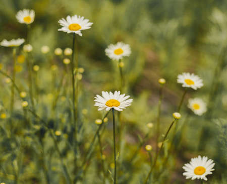 Field covered with flowers of wild camomile - Matricaria chamomilla Stockfoto