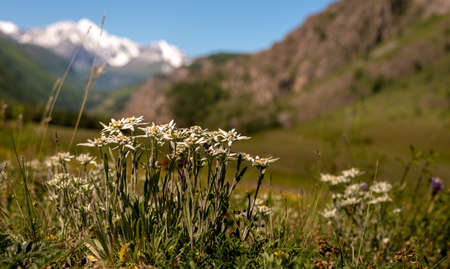 Edelweiss flowers on a background of snowy mountains