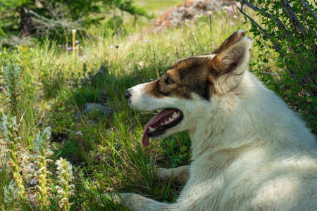 White husky resting outdoors in hot weather Stockfoto