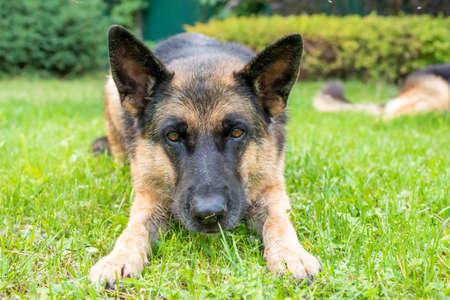 German shepherd dog lies on green grass