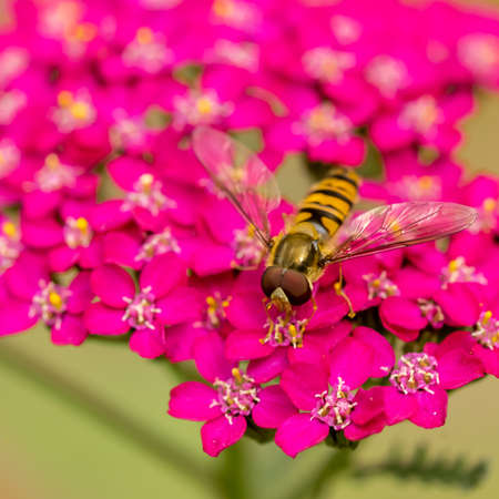 Striped fly looks like wasp - Hoverfly sitting on pink flower Imagens