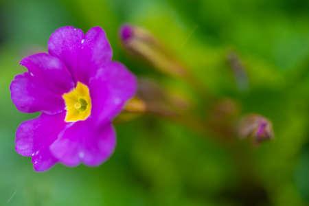 Blooming purple primrose flowers in the garden.