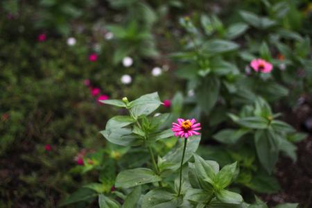 shrubbery: pink flower shrubbery Stock Photo
