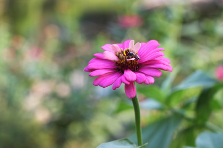 bee and pollen: magenta flower with a bee