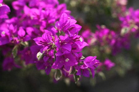 flowers close up: Bougainvillea flowers close up Stock Photo