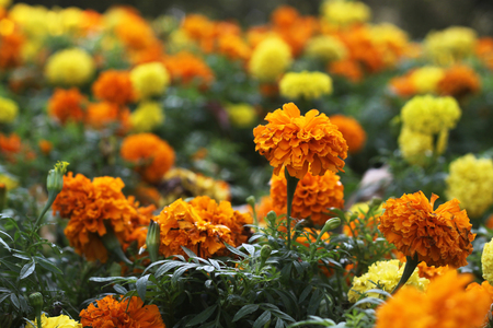 shrubbery: yellow and orange marigolds in shrubbery