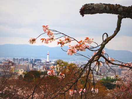 ninnaji: kyoto tower and sakura branch
