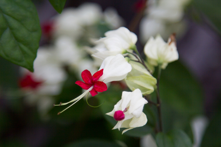 white red dragon flowers Stock Photo