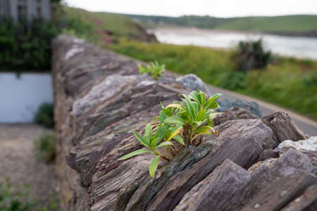 Traditional Weathered Slate Wall in Devon going into the distance with moss, lichen and a small plant growing in a crack Reklamní fotografie