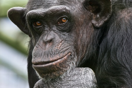 Sad Chimpanzee thinking about his life photo