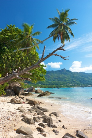 Old tree and palm reaching into the clear blue sky over a lonely beach and bay at Beau Vallon, Mahe, Seychelles