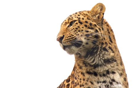 Isolated Chinese Leopard looking out for its prey with lots of space for your text