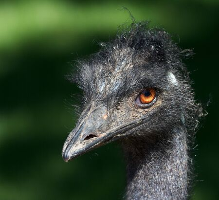 Closeup shot of a grumpy Emu bird from the side Stock Photo - 14873167