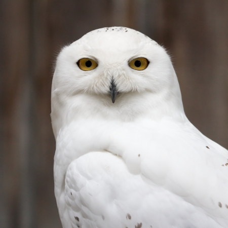 Snowy owl sitting quietly looking out for prey photo