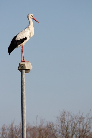Stork that has stayed in Europe despite the cold winter, standing on a streetlamp with lots of space for your text Stock Photo - 14873164