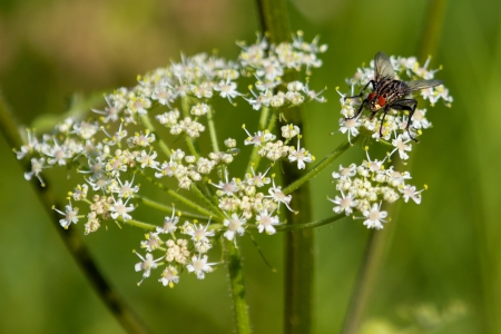 Ugly fly sitting on a blooming yarrow plant in the summer sun Stock Photo - 15320750